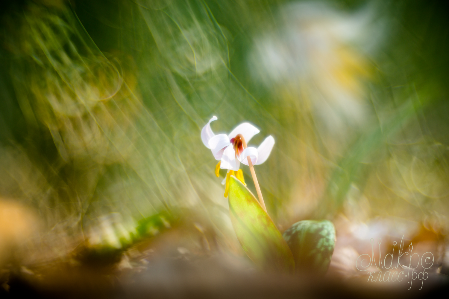 Erythronium in the wilds of space-time