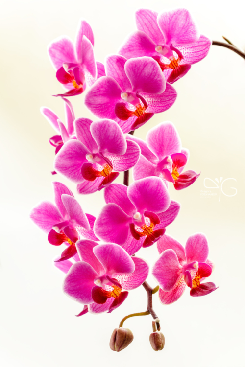 Орхидея фаленопсис, Phalaenopsis sp.