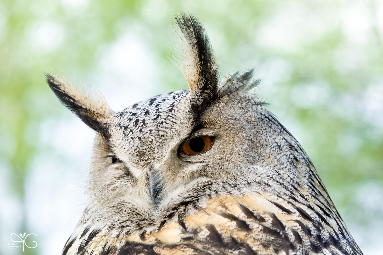 Fantik, eagle-owl