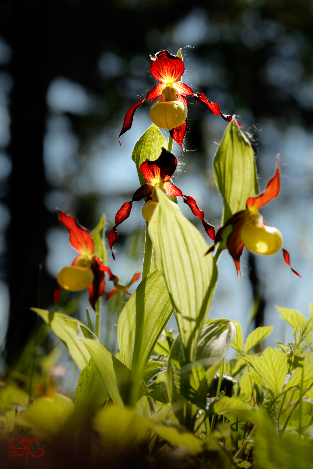 Orchids in a spruce forest